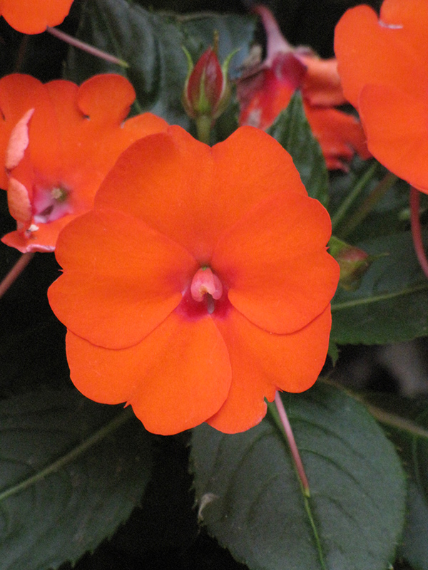 SunPatiens Compact Electric Orange New Guinea Impatiens (Impatiens 'SunPatiens Compact Electric Orange') at Sunnyside Nursery
